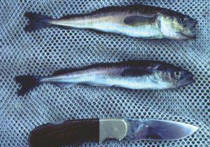 To fisker og en kniv på en fjøl