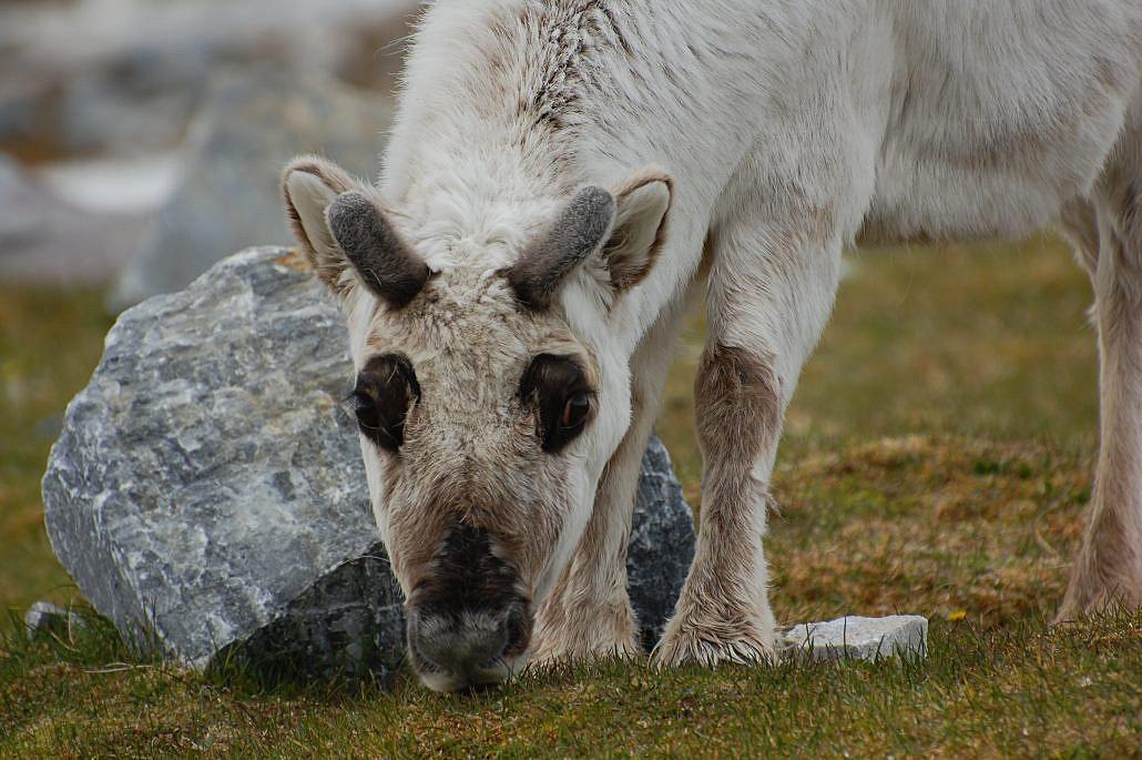 Beitende Svalbardrein