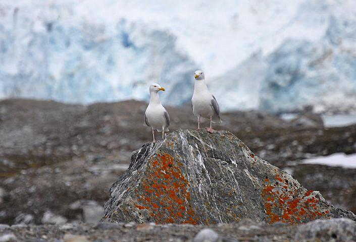 To polarmåker på en stein