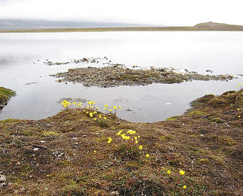 Innsjø med gule blomster i forgrunnen