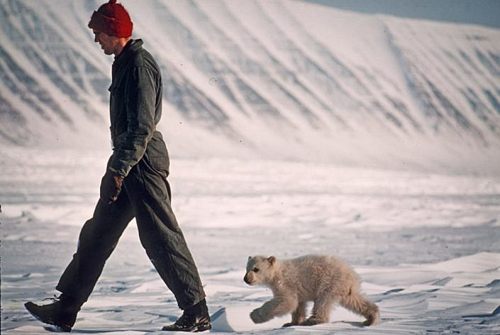 walking man followed by a polar bear cub
