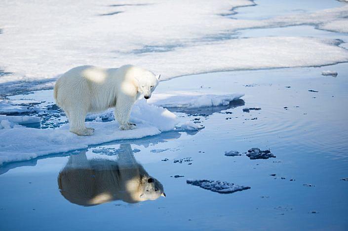 Polar bear reflected in water