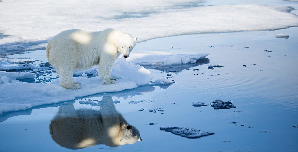 Isbjørn som speiles i vann