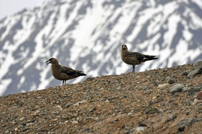 To fugler av arten storjo står i ei skråning