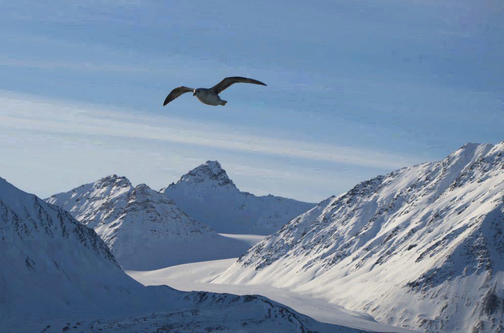Flyvende havhest med fjell i bakgrunnen