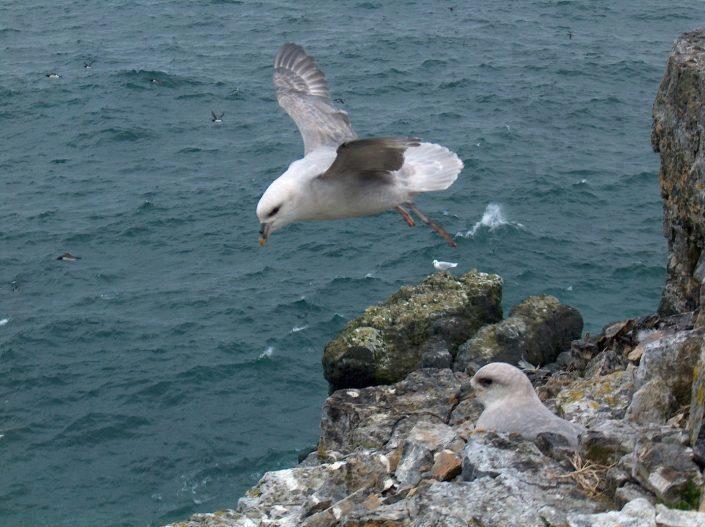 Havhest flyr fra klippe