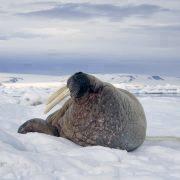 Hvalross på isen