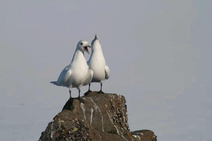 To ismåker på en stein.