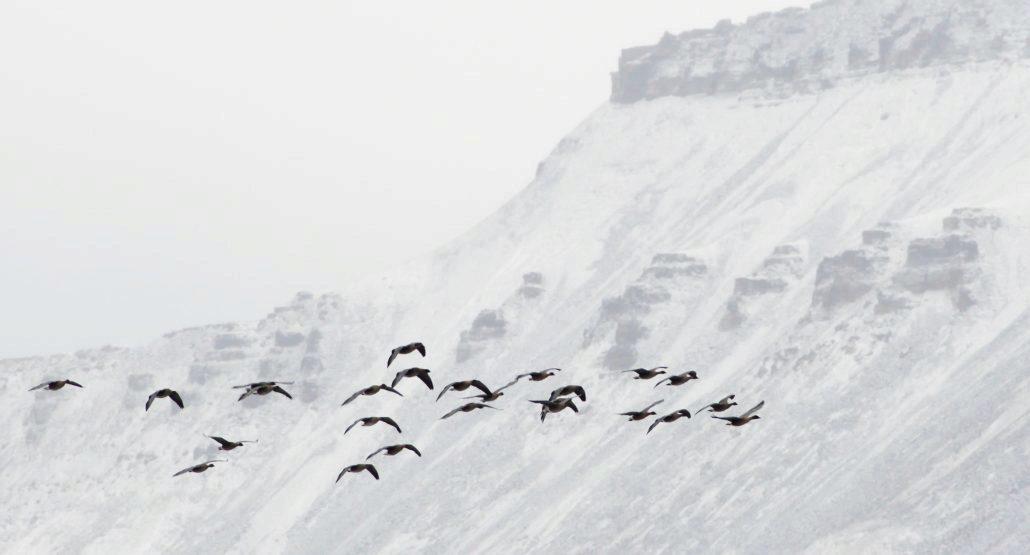 Kortnebbgås i flukt med snøkledd fjell i bakgrunnen