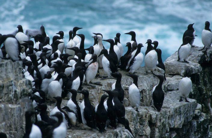 En flokk med lomvi