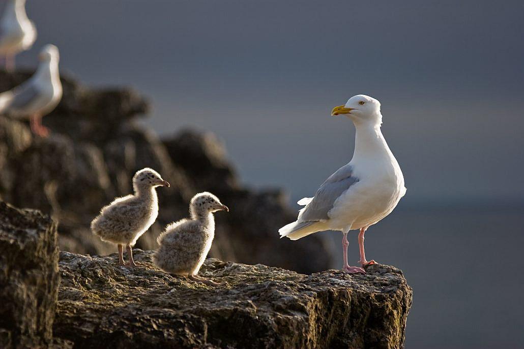 Polarmåke med unger