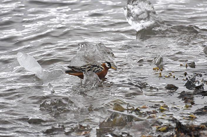 fugl som svømmer blant gjennomsiktige isflak