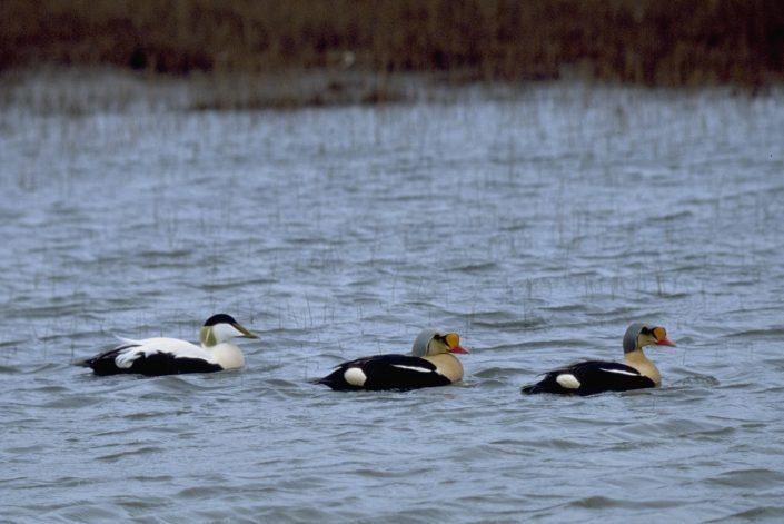 Tre fugler på svøm