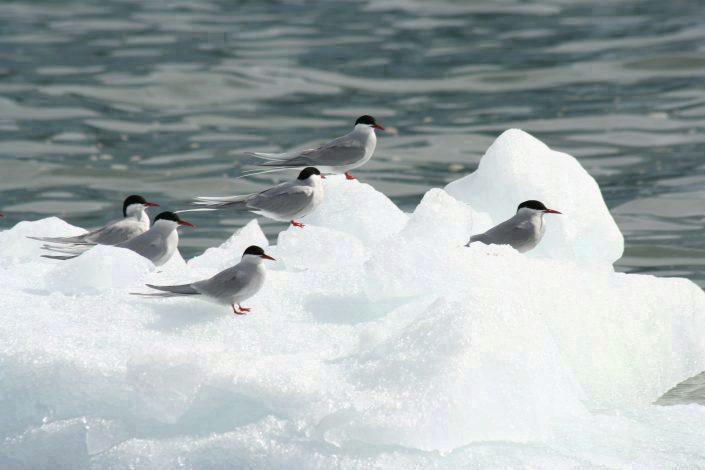 Fugler på isflak