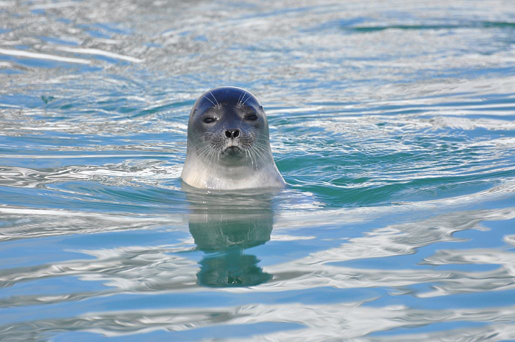 Ringed seal — Norsk Polarinstitutt