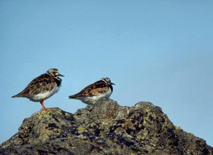 To fugler på en stein