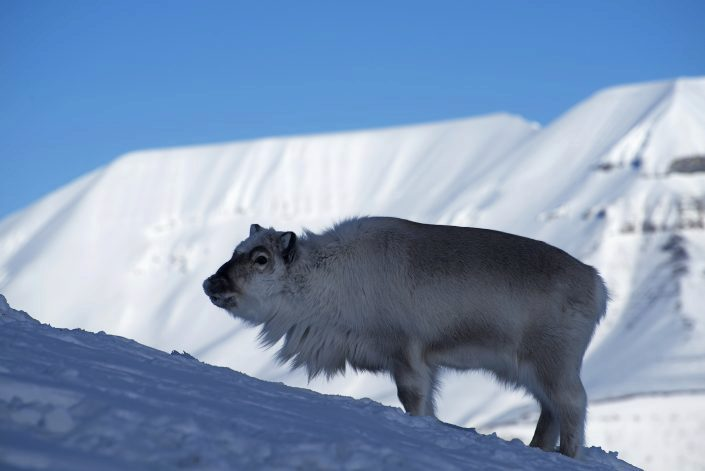 Svalbardrein stående i snøfull skråning