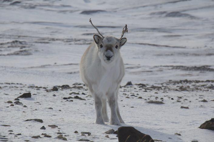 Svalbardrein ser på fotografen