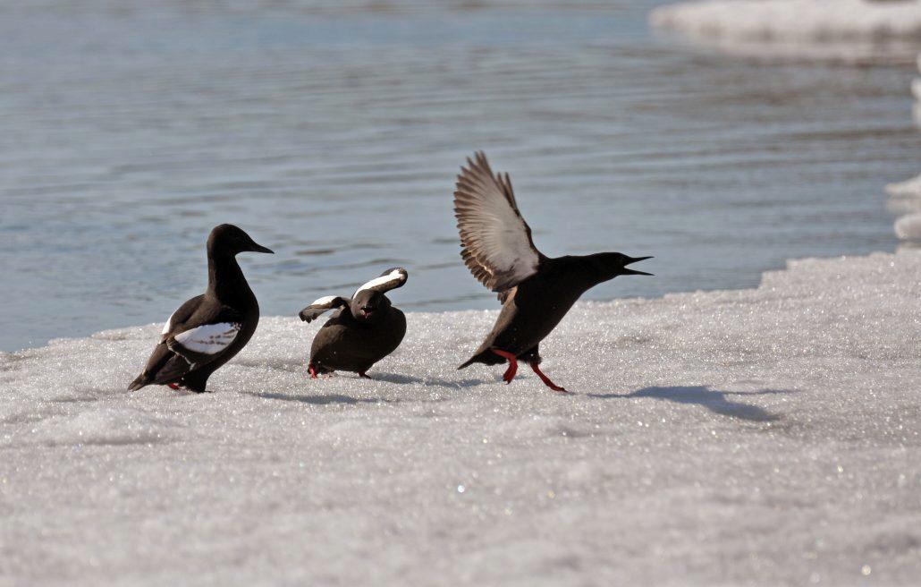 Tre fugler av arten teist