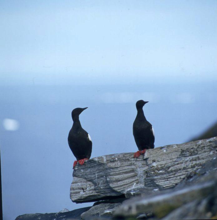 To fugler av arten teist på et berg