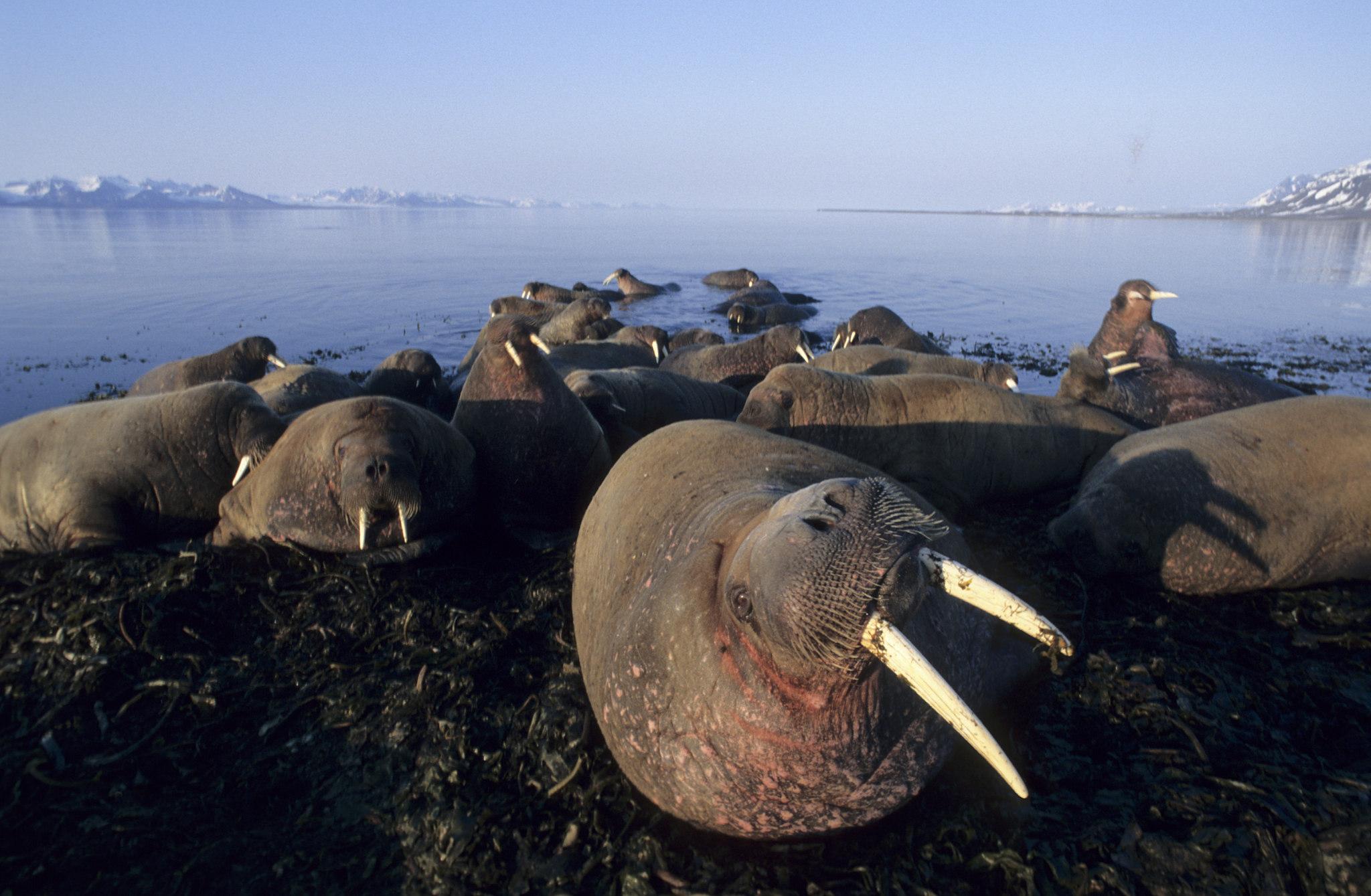 Walrus — Norsk Polarinstitutt