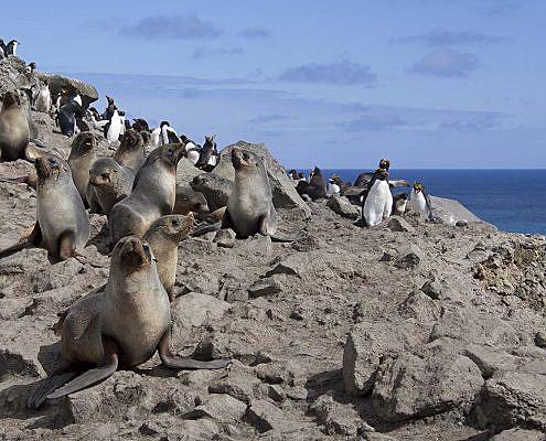 Store mengder pelssel og klippehopperpingvin på en klippe