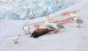 Fugler spiser på kadaver
