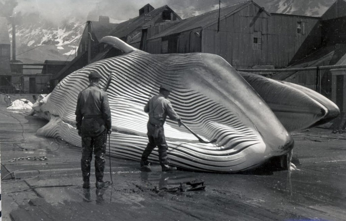 Two men flesning a whale