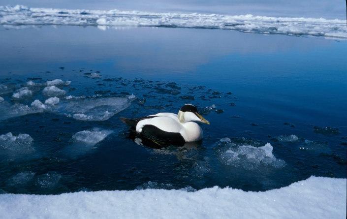 fugl svømmer ved iskanten.