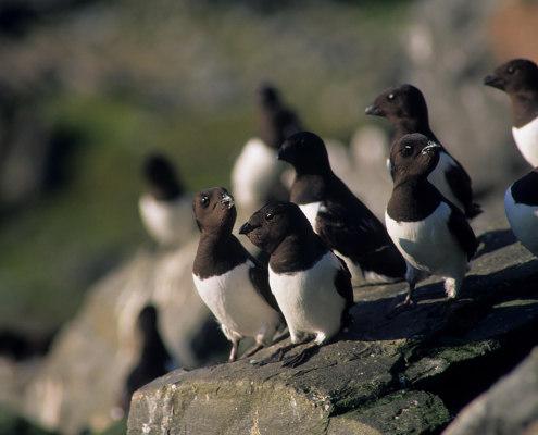 Fugler på en stein