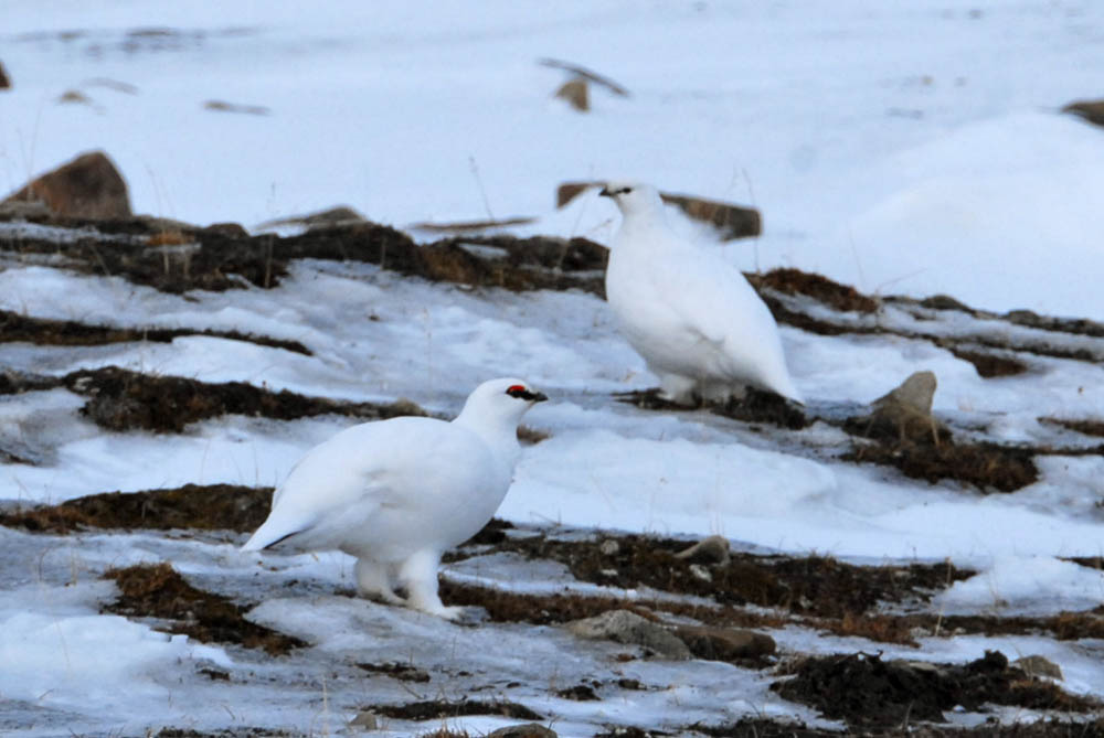 two white birds on a snowy terrain