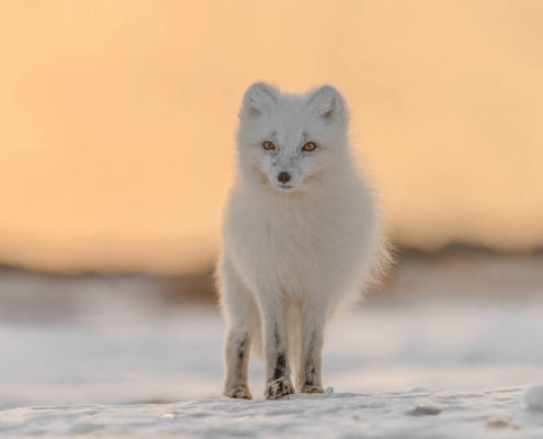 white fox on ice