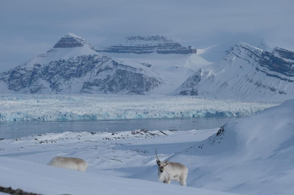To reinsdyr i vinterlandskap