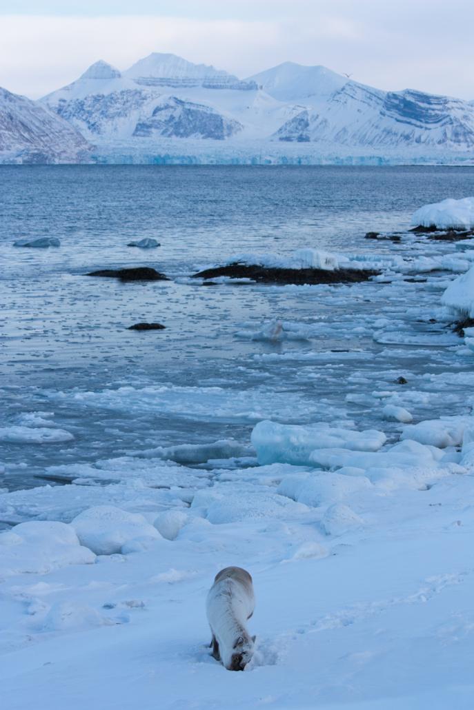 Svalbardrein beiter i vinterlandskap