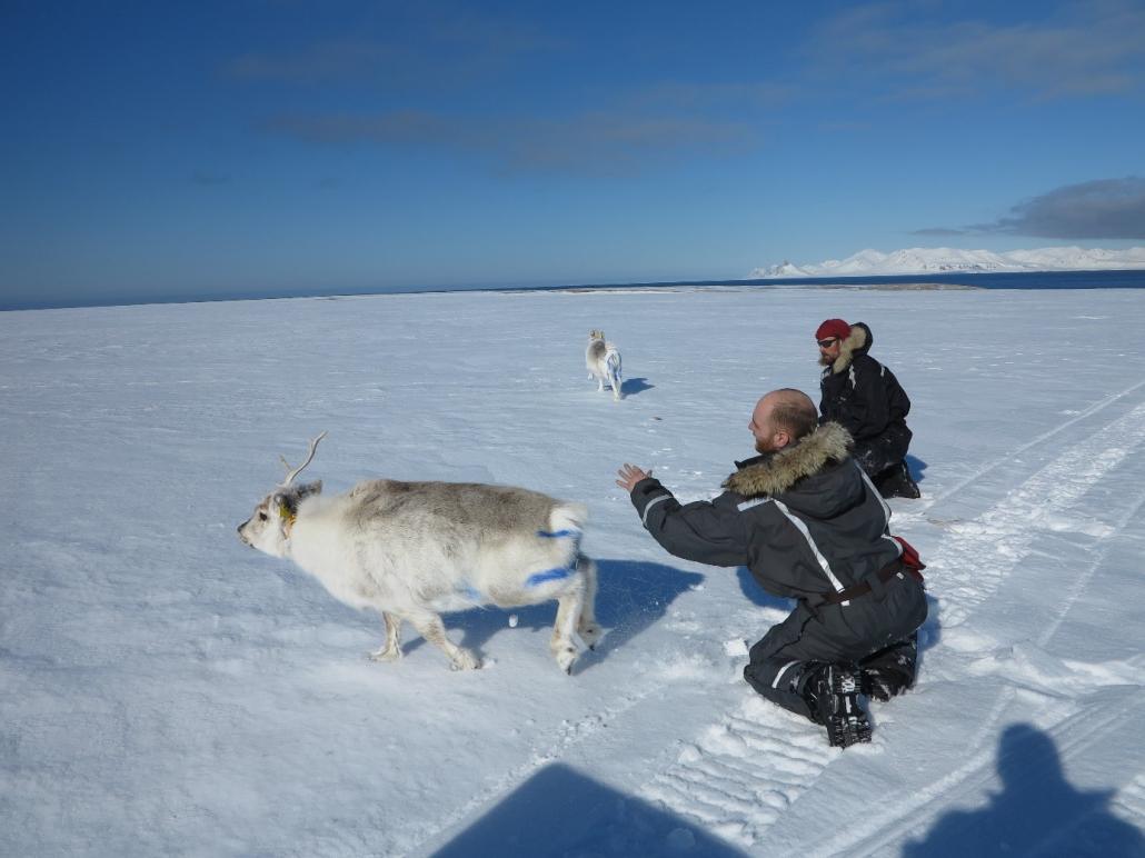 Forskere slipper løs to reinsdyr som er merket