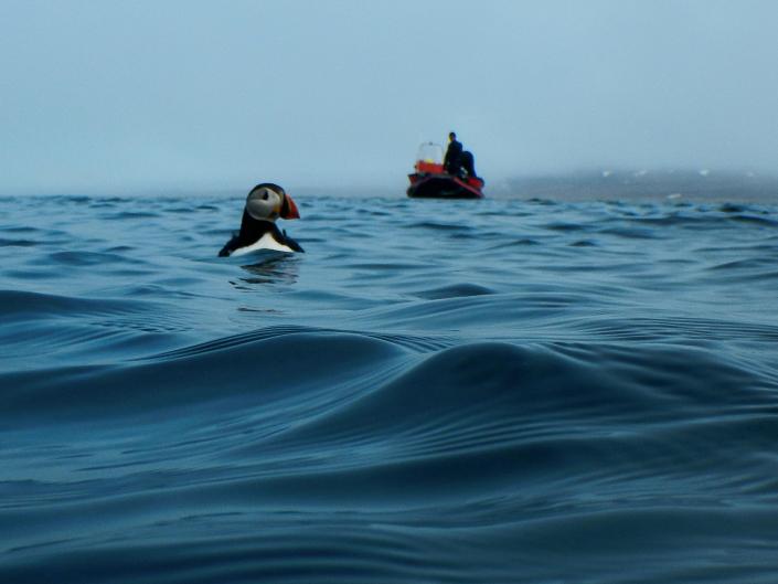 Sjøfugl på havet, en båt i bakgrunnen