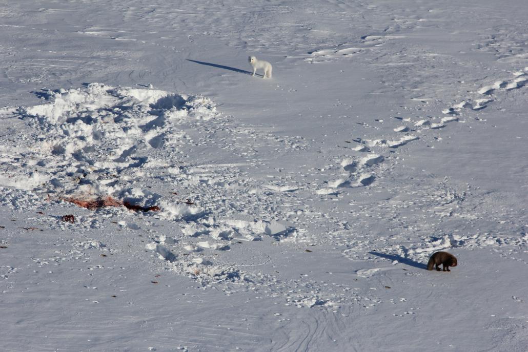 Hvitrev og brunrev ute på isen