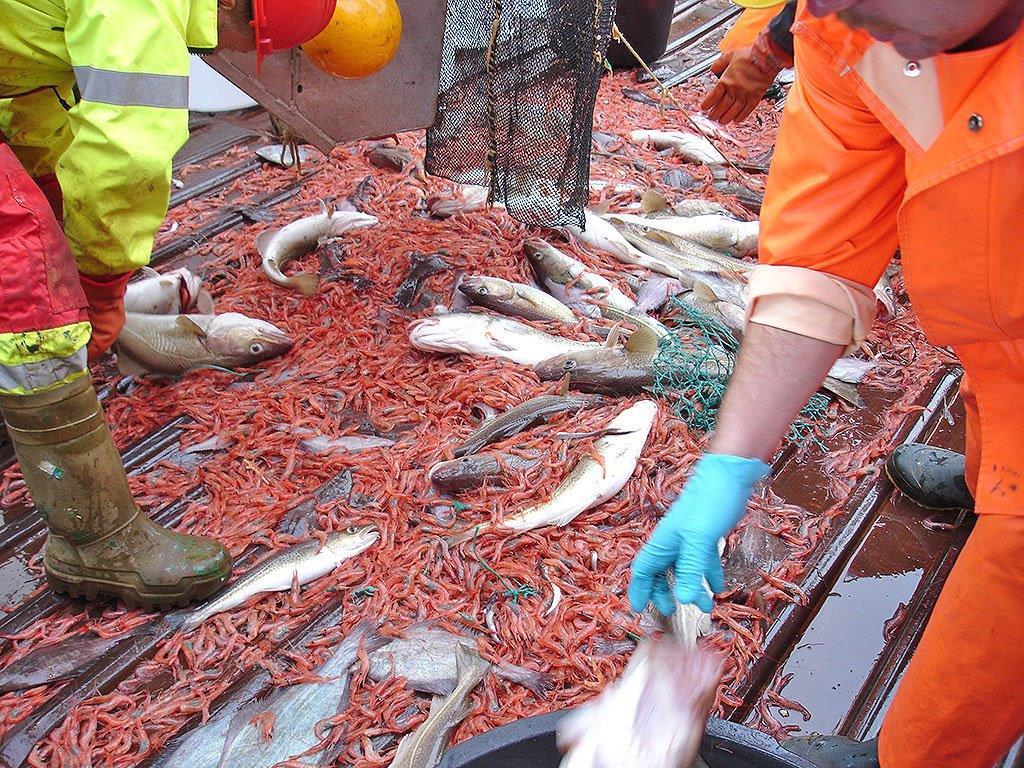 fisk som sorteres