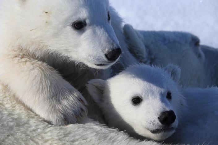 to isbjørnunger