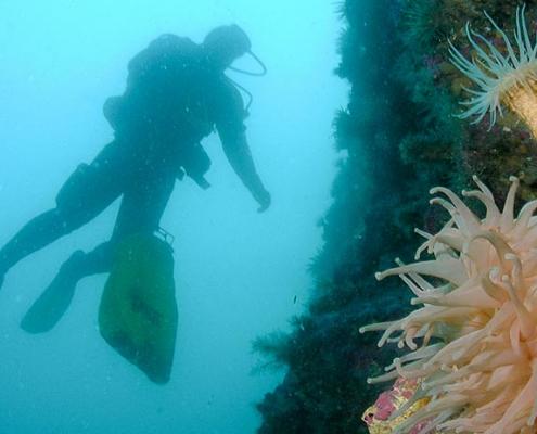 dykker ved korall