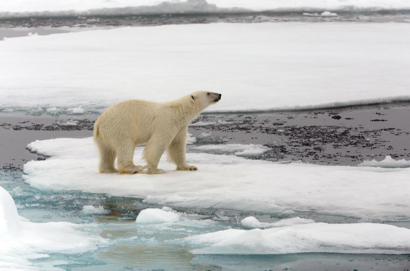 isbjørn på is
