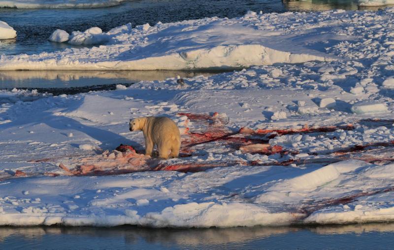 isbjørn på is spiser