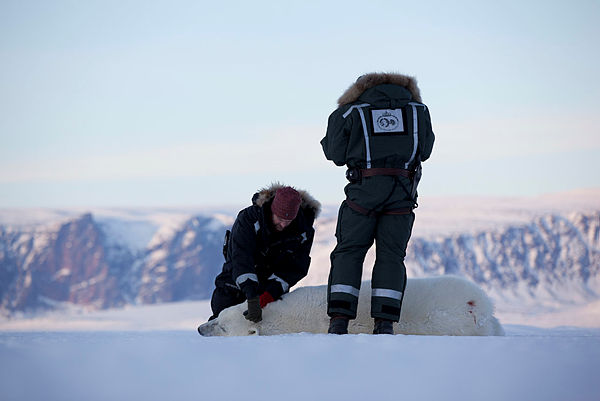 to personer med bedøvet isbjørn