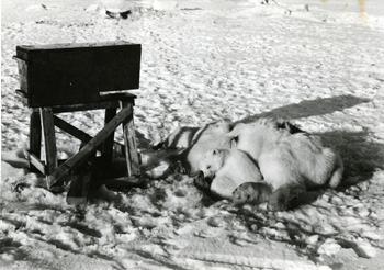 isbjørnbinne ligger død på snøen etter et selvskudd fra. En isbjørnunge ligger inntil mora.