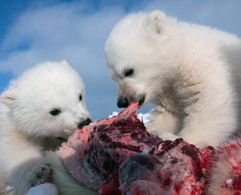 to isbjørnunger spiser kjøtt