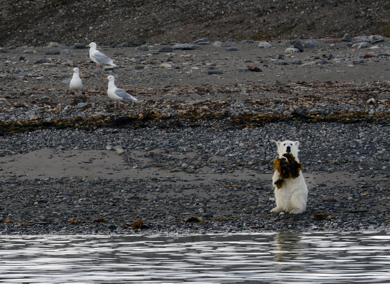 isbjørnunge spiser tang