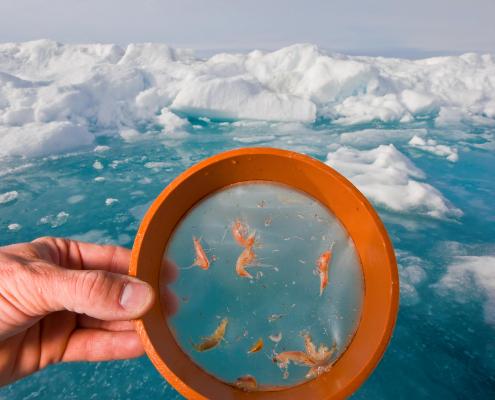 håns som holder forstørrelsesglass foran små organismer i is