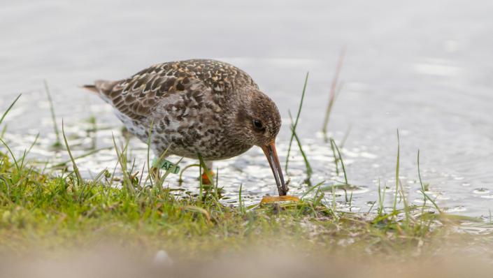 fugl som drikker vann