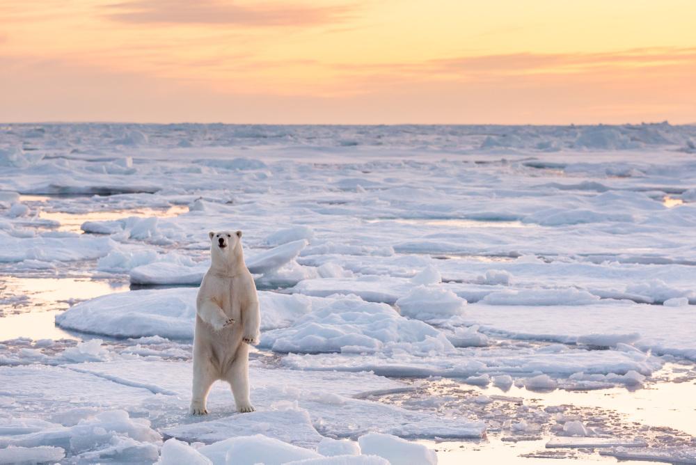 isbjørn som reiser seg på to