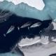 flyfoto viser tre narhval